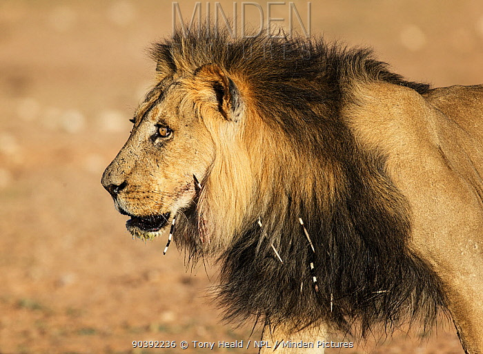 Lion (Panthera leo) male, with Cape Porcupine (Hystrix africaeaustralis) quills in mane, Kgalagadi Transfrontier Park, South Africa, January  -  Tony Heald/ npl