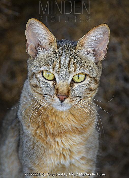 African Wild Cat (Felis lybica) Kgalagadi Transfrontier Park, South Africa, January  -  Tony Heald/ npl