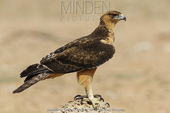 Tawny Eagle (Aquila rapax) Kgalagadi Transfrontier Park, South Africa January  -  Tony Heald/ npl
