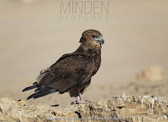 Bateleur Eagle (Terathopius ecaudatus) immature, Kgalagadi Transfrontier Park, South Africa January  -  Tony Heald/ npl
