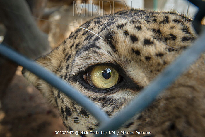 Male Arabian Leopard (Panthera pardus nimr) seen through wire fencing at the Arabian Wildlife Centre and captive-breeding project, Sharjah, United Arab Emirates  -  Nick Garbutt/ npl