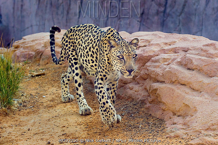 Male Arabian Leopard (Panthera pardus nimr) at the Arabian Wildlife Centre and captive-breeding project, Sharjah, United Arab Emirates  -  Nick Garbutt/ npl
