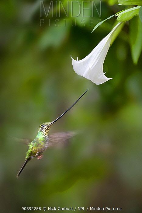 Sword-billed Hummingbird (Ensifera ensifera) feeding at an Angel's or Devil's Trumpet Flower (Datura sp) Yanacocha montane cloud forest, Ecuador  -  Nick Garbutt/ npl