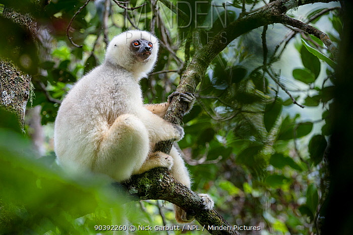 Adult male Silky Sifaka (Propithecus candidus) in forest canopy Marojejy National Park, north east Madagascar Critically Endangered  -  Nick Garbutt/ npl
