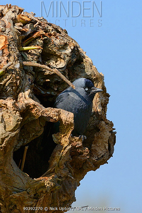 Jackdaw (Corvus monedula) standing at the entrance to its nest hole in a pollarded willow trunk, Gloucestershire,UK, April  -  Nick Upton/ npl