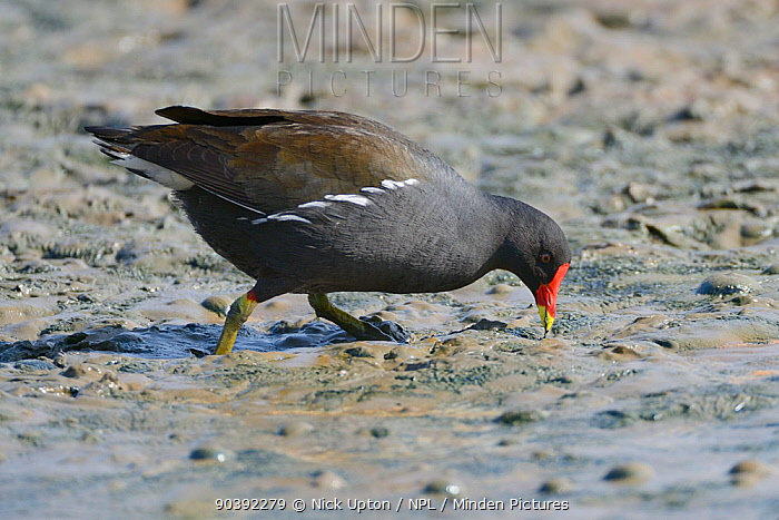 Moorhen (Gallinula chloropus) extracting a worm from the muddy margins of a lake, Gloucestershire, UK, May  -  Nick Upton/ npl
