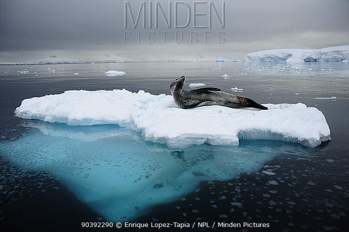 Leopard seal (Hydrurga leptonyx) on an ice floe Wilhelmina Bay, Gerlache Strait Antarctic Peninsula, Antarctica  -  Enrique Lopez Tapia/ npl