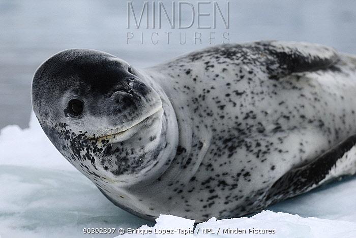 Leopard seal (Hydrurga leptonyx) resting on ice, Wilhelmina Bay, Gerlache Strait Antarctic Peninsula, Antarctica  -  Enrique Lopez Tapia/ npl