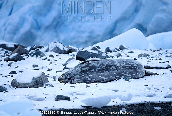 Weddell seal (Leptonychotes weddellii) lying on ice, Antarctic Peninsula, Antarctica  -  Enrique Lopez Tapia/ npl