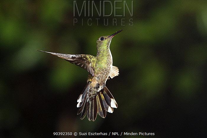 Scaly-breasted Hummingbird (Phaeochroa cuvierii) in flight, Northern Costa Rica, Central America  -  Suzi Eszterhas/ npl