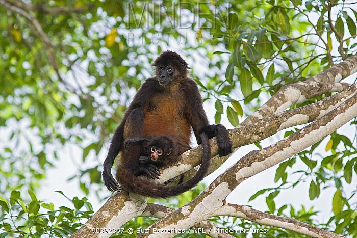 Black-handed Spider Monkey (Ateles geoffroyi ornatus) mother and infant Osa Peninsula, Costa Rica  -  Suzi Eszterhas/ npl