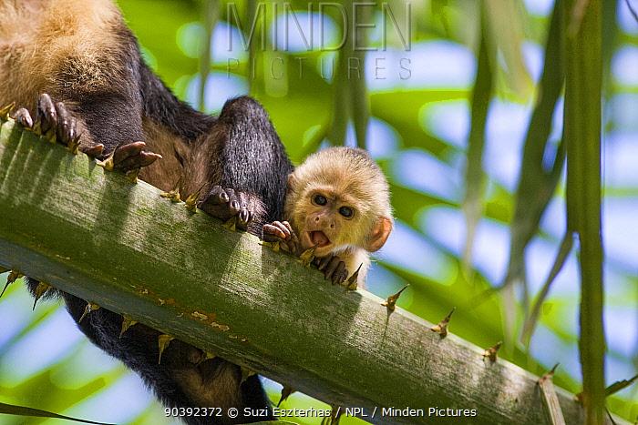 White-faced Capuchin (Cebus capucinus imitator) baby in palm tree Osa Peninsula, Costa Rica  -  Suzi Eszterhas/ npl
