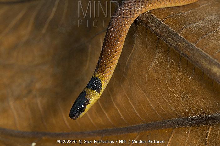 Red coffee snake (Ninia sebae) Northern Costa Rica, Central America  -  Suzi Eszterhas/ npl