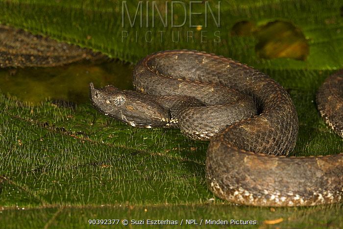 Hog-nosed Pit Viper (Bothrops nasutus) Northern Costa Rica, Central America  -  Suzi Eszterhas/ npl