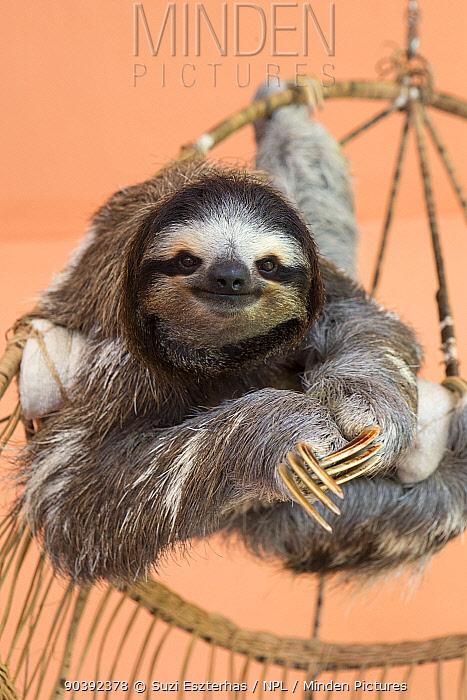 Brown-throated Three-toed Sloth (Bradypus variegatus) female named 'Buttercup' captive in rehabilitation program Aviarios Sloth Sanctuary, Costa Rica  -  Suzi Eszterhas/ npl