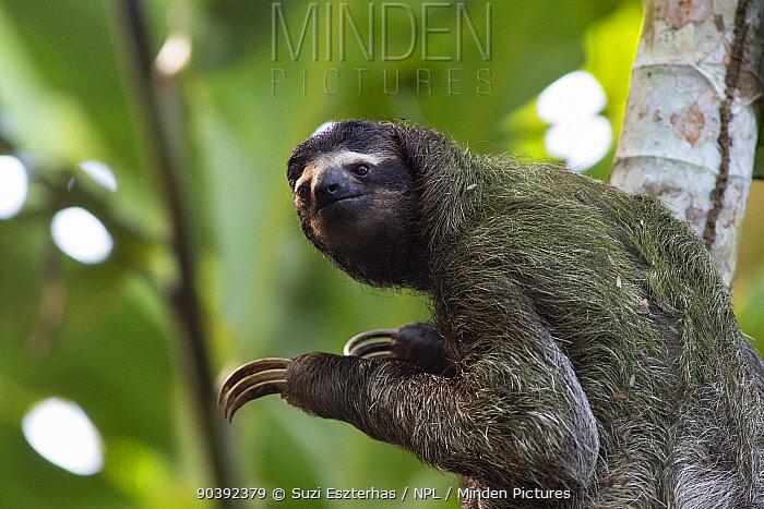 Brown-throated Three-toed Sloth (Bradypus variegatus) wild sloth in tree at Aviarios Sloth Sanctuary, Costa Rica  -  Suzi Eszterhas/ npl
