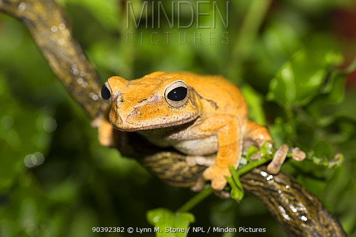 Golden Treefrog (Polypedates leucomystax) captive, from tropical Asia (Philippines to India)  -  Lynn M. Stone/ npl
