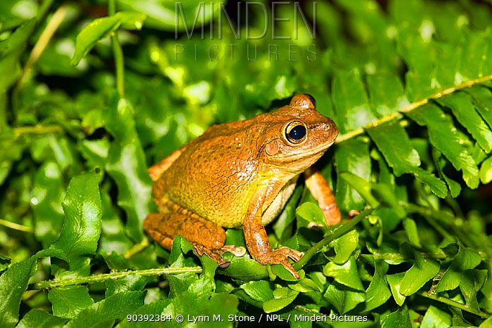 Cuban Treefrog (Osteopilus septentrionalis) captive,native to Caribbean region, but highly adaptive and invasive, having become naturalized in Florida and Oahu, Hawaii  -  Lynn M. Stone/ npl