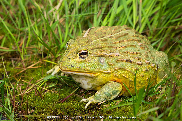 African Bullfrog (Pyxicephalus adspersus) captive, a somewhat unusual frog because the male of the species is much larger than the female, weighing up to 2 kg, native to wide range of habitats in sub-Sahara Africa Non-exclusive  -  Lynn M. Stone/ npl
