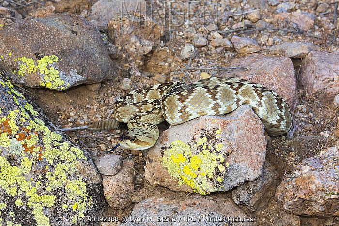 Northern Black-Tailed Rattlesnake (Crotalus molossus molossus) Sonoran Desert, Mesa, Arizona, USA Non-exclusive  -  Lynn M. Stone/ npl