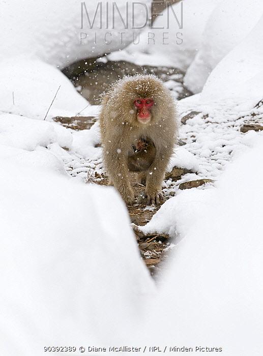 Japanese Macaque (Macaca fuscata) carrying baby through the snow, Jigokudani, Japan February  -  Diane Mcallister/ npl