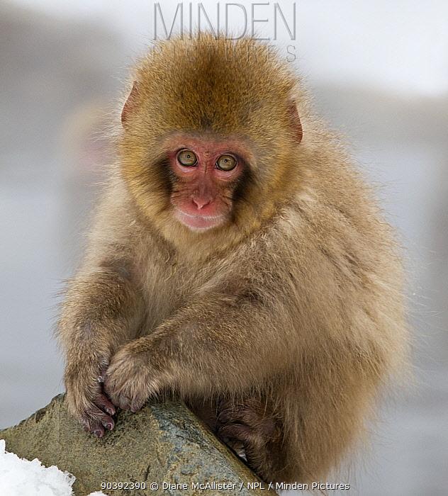 Japanese Macaque (Macaca fuscata) juvenile portrait, Jigokudani, Japan February  -  Diane Mcallister/ npl