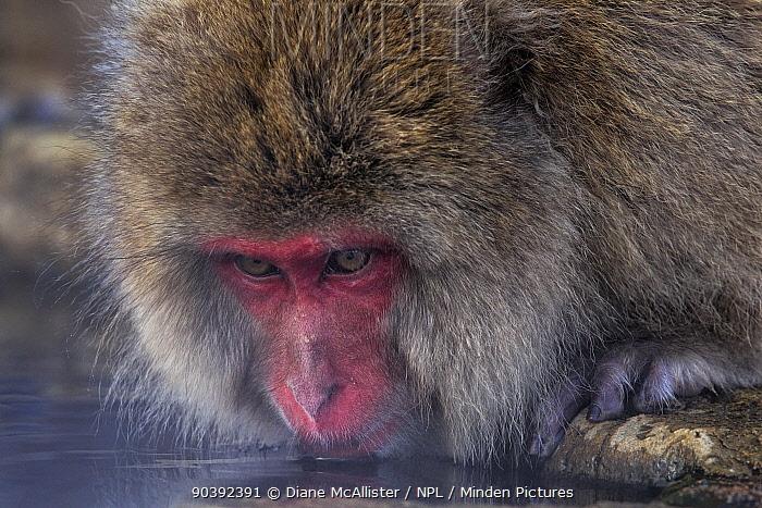 Japanese Macaque (Macaca fuscata) drinking from hotsprings, Jigokudani, Japan February  -  Diane Mcallister/ npl