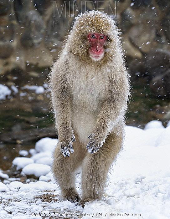 Japanese Macaque (Macaca fuscata) female standing on hind legs in snow, Jigokudani, Japan February  -  Diane Mcallister/ npl
