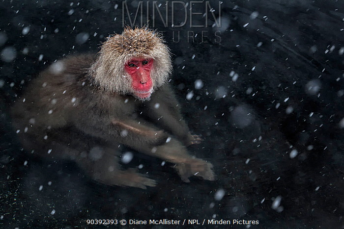 Japanese Macaque (Macaca fuscata) adult swimming in the hot springs of Jigokudani, in the snow, Japan February  -  Diane Mcallister/ npl
