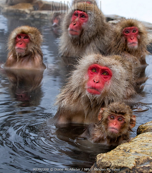 Japanese Macaques (Macaca fuscata) mothers guarding their babies as other monkeys approach down the hillside in Jigokudani, Japan  -  Diane Mcallister/ npl