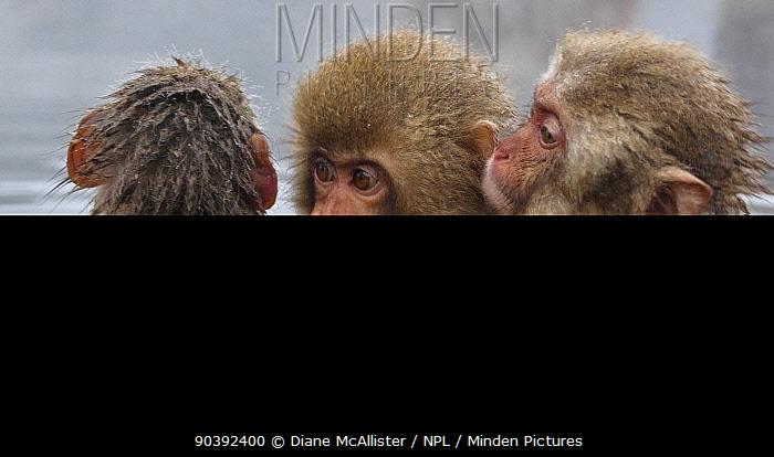 Japanese Macaque (Macaca fuscata) juvenile pulling on another juvenile's cheek in hot spring in Jigokudani, Japan  -  Diane Mcallister/ npl