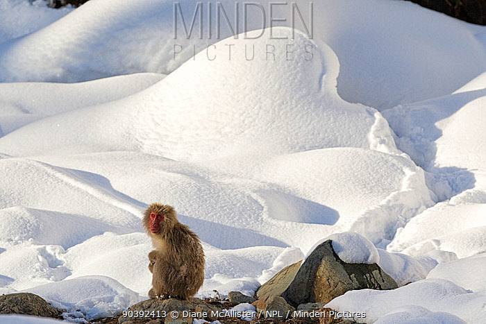 Japanese Macaque (Macaca fuscata) perched on the open warm section of a rocky hillside, takes in the last rays of the late afternoon sun in Jigokudani, Japan  -  Diane Mcallister/ npl