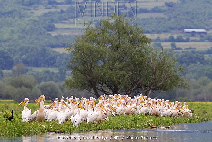 White pelican (Pelecanus onocrotalus) flock sitting at the edge of the Strymonas River where it flows into Lake Kerkini, Greece May  -  David Pattyn/ npl