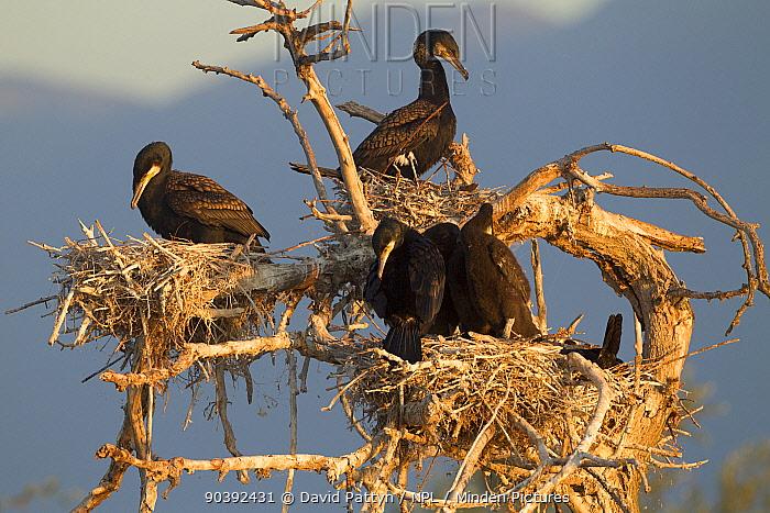 Great Cormorant (Phalocrocorax carbo) nests in a dead tree Lake Kerkini, Greece May  -  David Pattyn/ npl