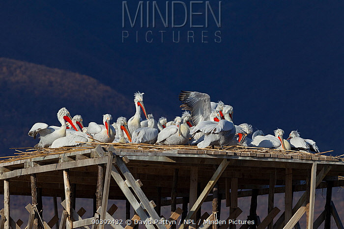 Dalmatian Pelicans (Pelecanus crispus) on nesting platform specially built to prevent the nests from flooding in spring Lake Kerkini, Greece, March  -  David Pattyn/ npl