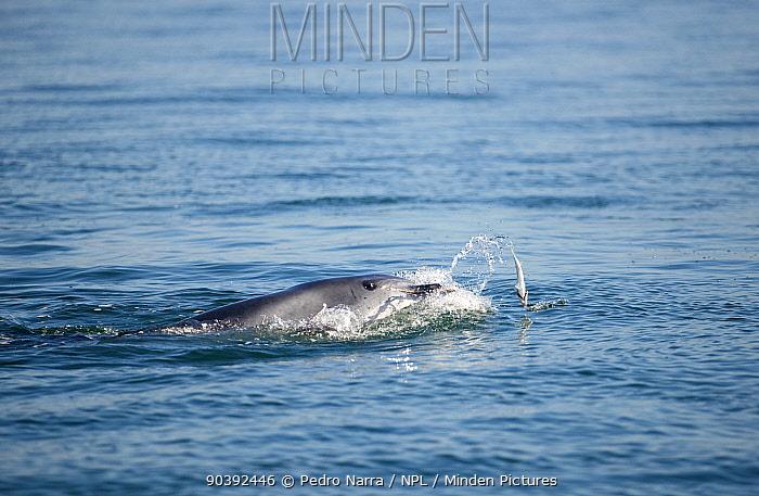 Bottlenose Dolphin (Tursiops truncatus) playing with fish at surface, Sado Estuary, Portugal  -  Pedro Narra/ npl