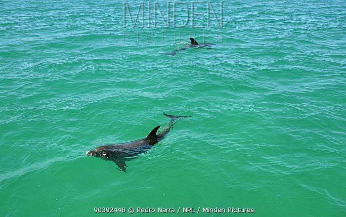 Bottlenose Dolphin (Tursiops truncatus) at surface, Sado Estuary, Portugal  -  Pedro Narra/ npl