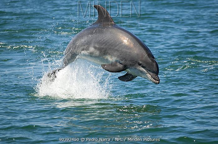 Bottlenose Dolphin (Tursiops truncatus) porpoising, Sado Estuary, Portugal  -  Pedro Narra/ npl
