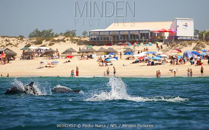 Bottlenose Dolphins (Tursiops truncatus) playing near beach, Sado Estuary, Portugal  -  Pedro Narra/ npl