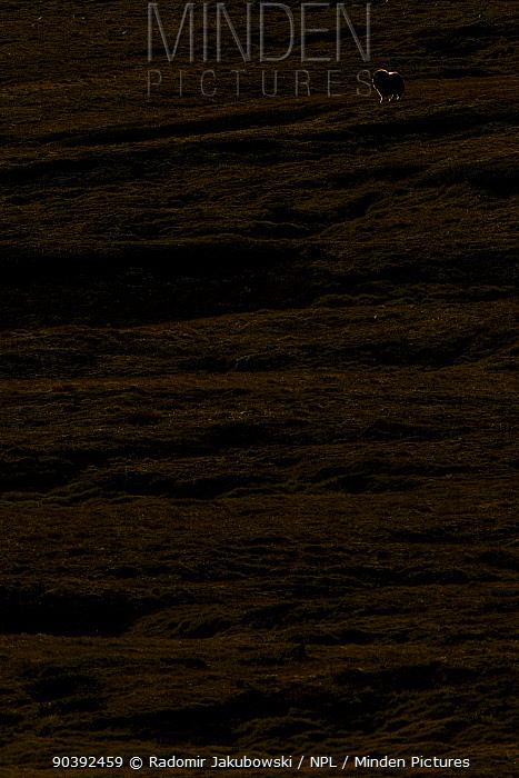 Muskox (Ovibos moschatus) in twilight, Dovrefjell National Park, Norway September  -  Radomir Jakubowski/ npl