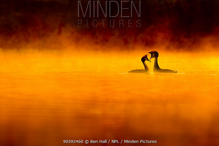 Great crested grebe (Podiceps cristatus) pair performing courtship displaying at dawn, backlit and surrounded by mist, Cheshire, UK, April Highly honoured in the Birds Category of Nature's Best Windland Smith Rice International Awards Photography Competition 2013  -  Ben Hall/ npl