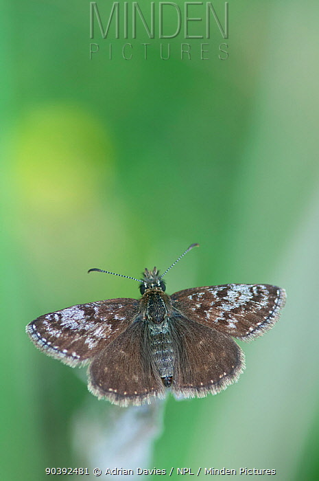 Dingy Skipper Butterfly (Erynnis tages) male Picos de Europa, northern Spain  -  Adrian Davies/ npl