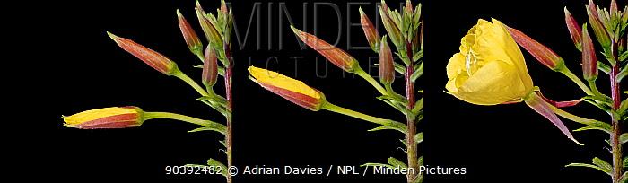 Evening Primrose (Oenothera sp) flower opening in evening, three exposures over 20 minutes Surrey, England  -  Adrian Davies/ npl