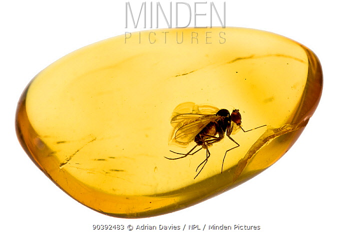 Fossilised fly in Baltic amber Whole specimen approx 15mm long Fly approx 5mm  -  Adrian Davies/ npl