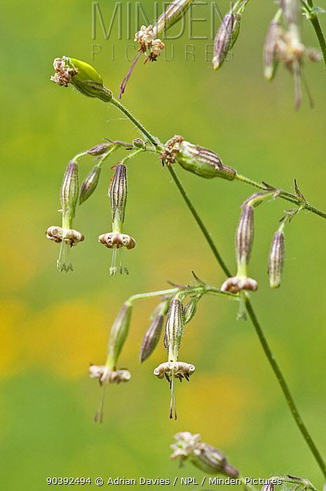 Nottingham Catchfly (Silene nutans) in flower, Picos de Europa, Spain  -  Adrian Davies/ npl