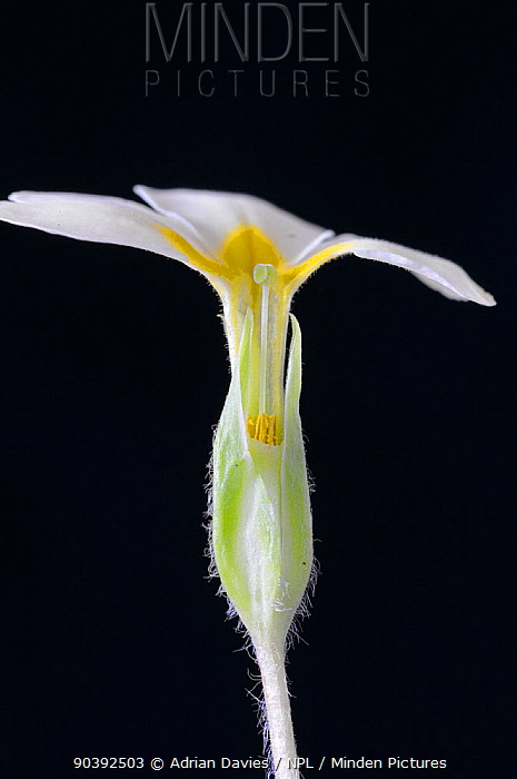 Primrose (Primula vulgaris) pin eyed specimen with protruding stigma, as opposed to protruding stamens (known as thrum eyed)  -  Adrian Davies/ npl