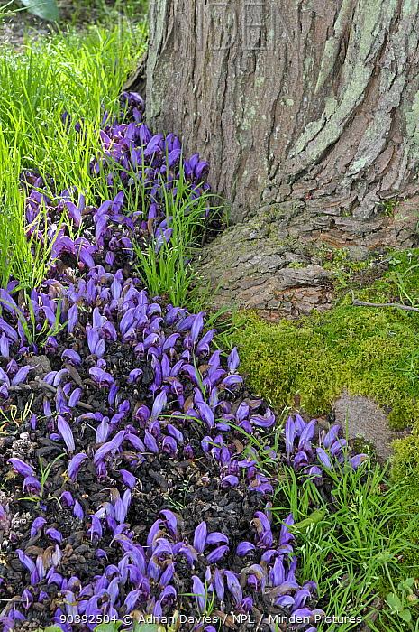 Purple Toothwort (Lathraea clandestina) in botanic garden, Surrey, England May  -  Adrian Davies/ npl