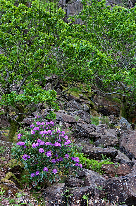 Rhododendron (Rhododendron x superponticum) growing on slope of mountain Snowdonia National Park, North Wales Wales  -  Adrian Davies/ npl