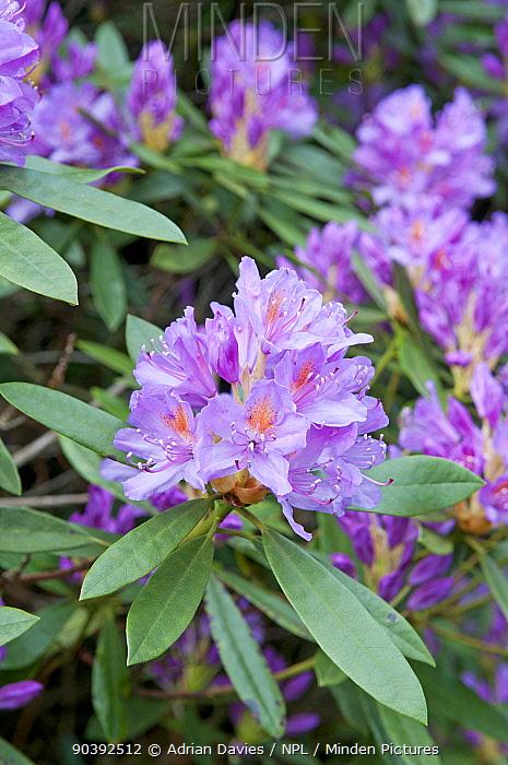 Rhododendron (Rhododendron x superponticum) flowering, invasive species, Snowdonia National Park, North Wales Wales  -  Adrian Davies/ npl
