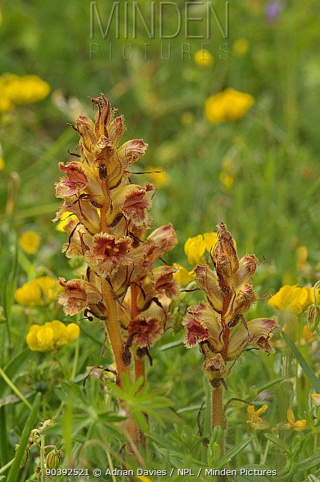Slender Broomrape (Orobanche gracilis) growing parasitically on Birdsfoot Trefoil (Lotus corniculatus) Picos de Europa, Spain  -  Adrian Davies/ npl